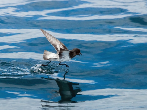 Beat that! Grey-backed Storm Petrel. Photo by David Cook*
