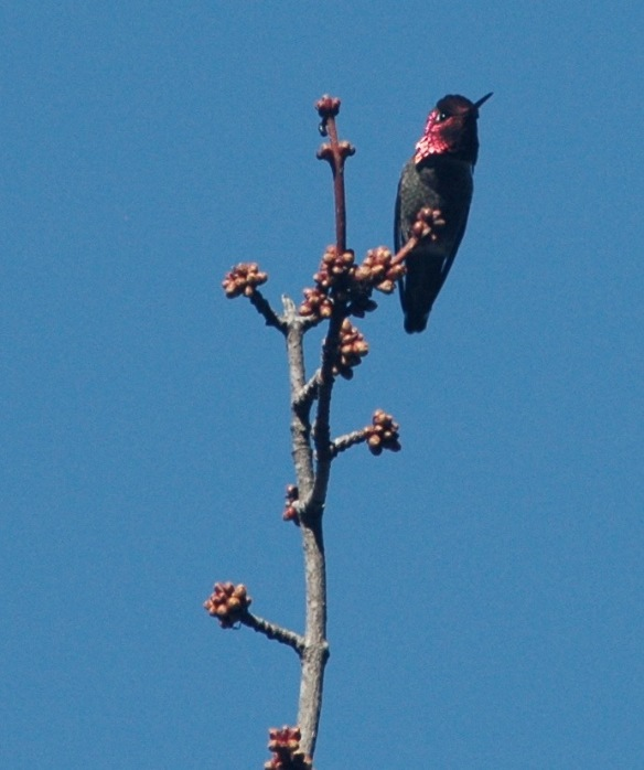hummingbird_2_13