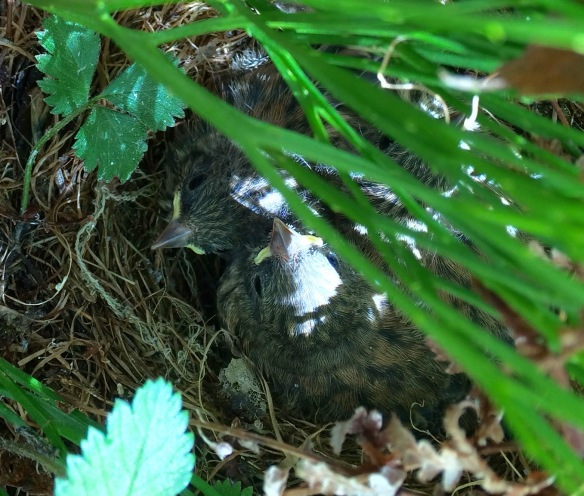 Nestlings almost ready to fledge in a junco nest near my work.