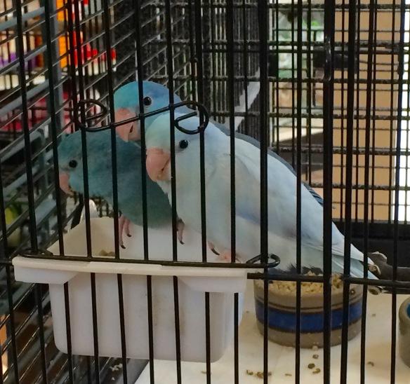 Blue Parrotlets.