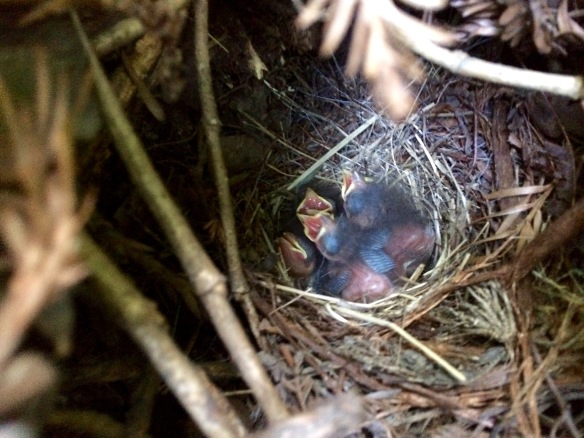 Another junco nest near my work. Just because I'm not out in the field, it doesn't mean I'm not stalking juncos...