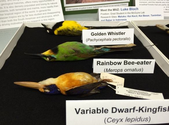 Display of birds at Cal Day, the one day a year (today!) that the museum opens its doors to the public.