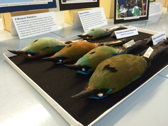 Selection of motmot species at Cal Day.
