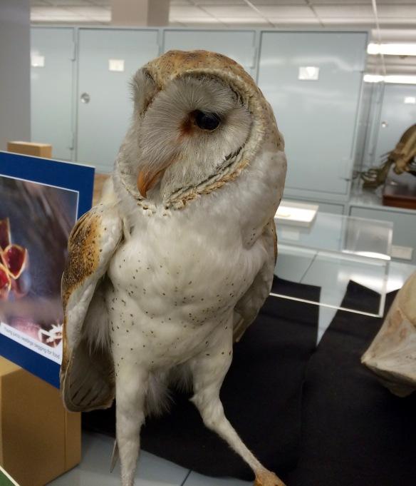 Mounted Barn Owl at Cal Day.