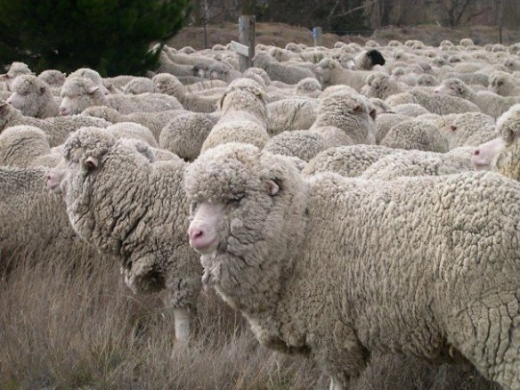 Especially if their faces are covered in wool. Photo by M. LaBarbera