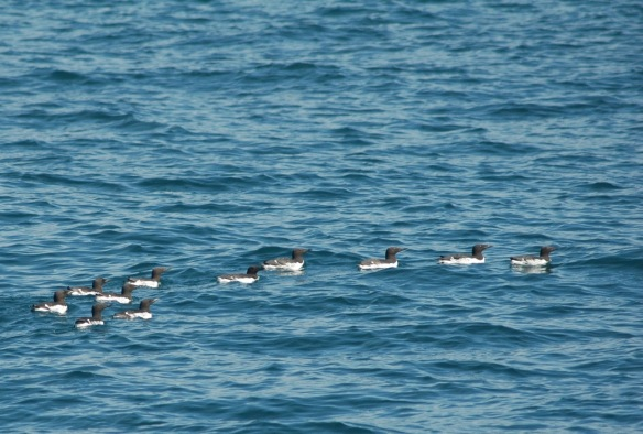 Or friendly Common Murres.