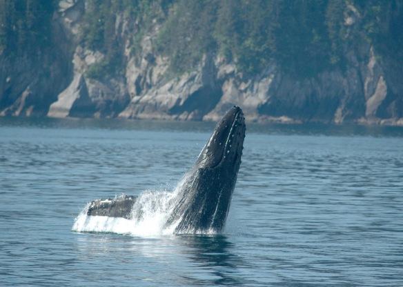 humpback_breaching1