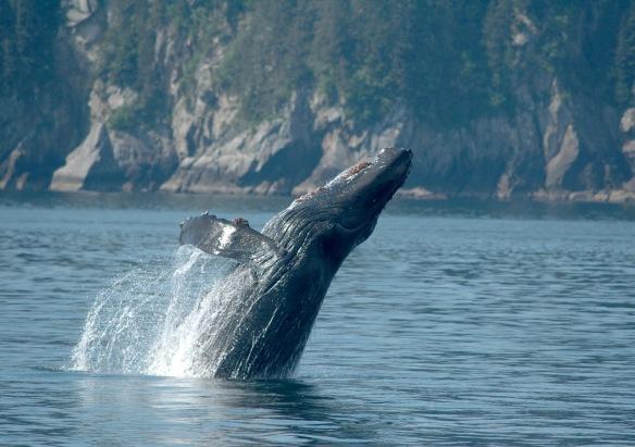 humpback_breaching2