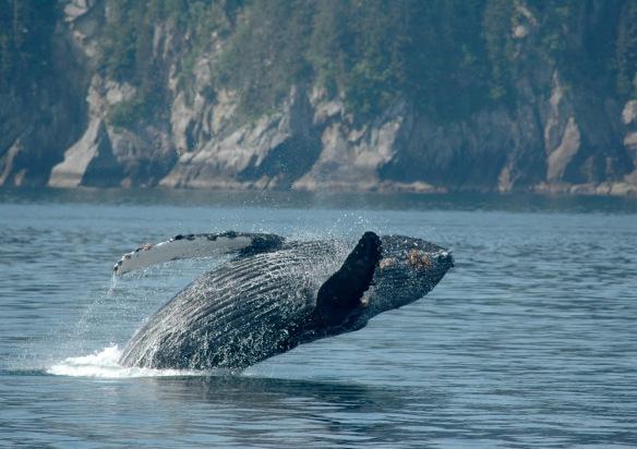 humpback_breaching3