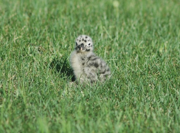 Here's a Mew Gull chick to tide you over in the meantime.