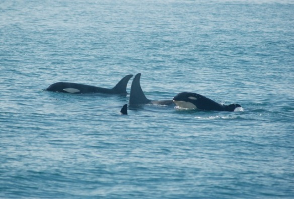 Orca family group, with a calf.