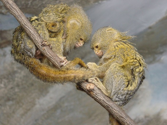 Also friends. (Notice the baby on the top marmoset's back, too.) Photo by Paul Morris*