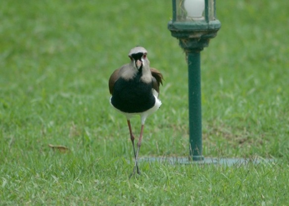 "Southern Lapwing says ""thank you"" with a swagger."