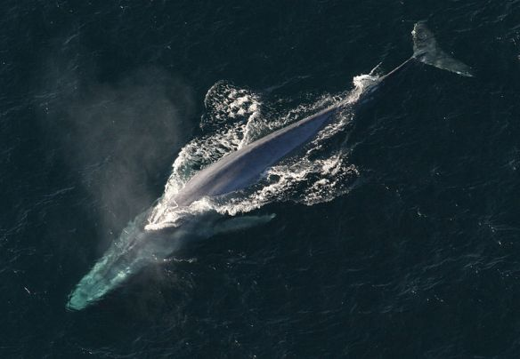 Blue whale. Photo by NOAA Photo Library*
