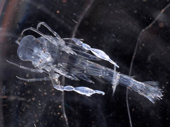 Phronima sedentaria (amphipod). Photo by M. LaBarbera