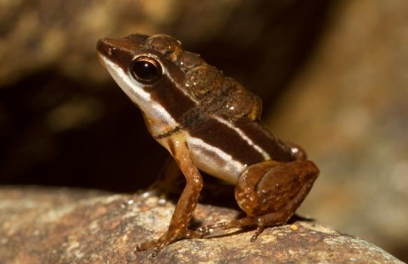 Silverstoneia_flotator_male+tadpoles_Brian_Gratwicke