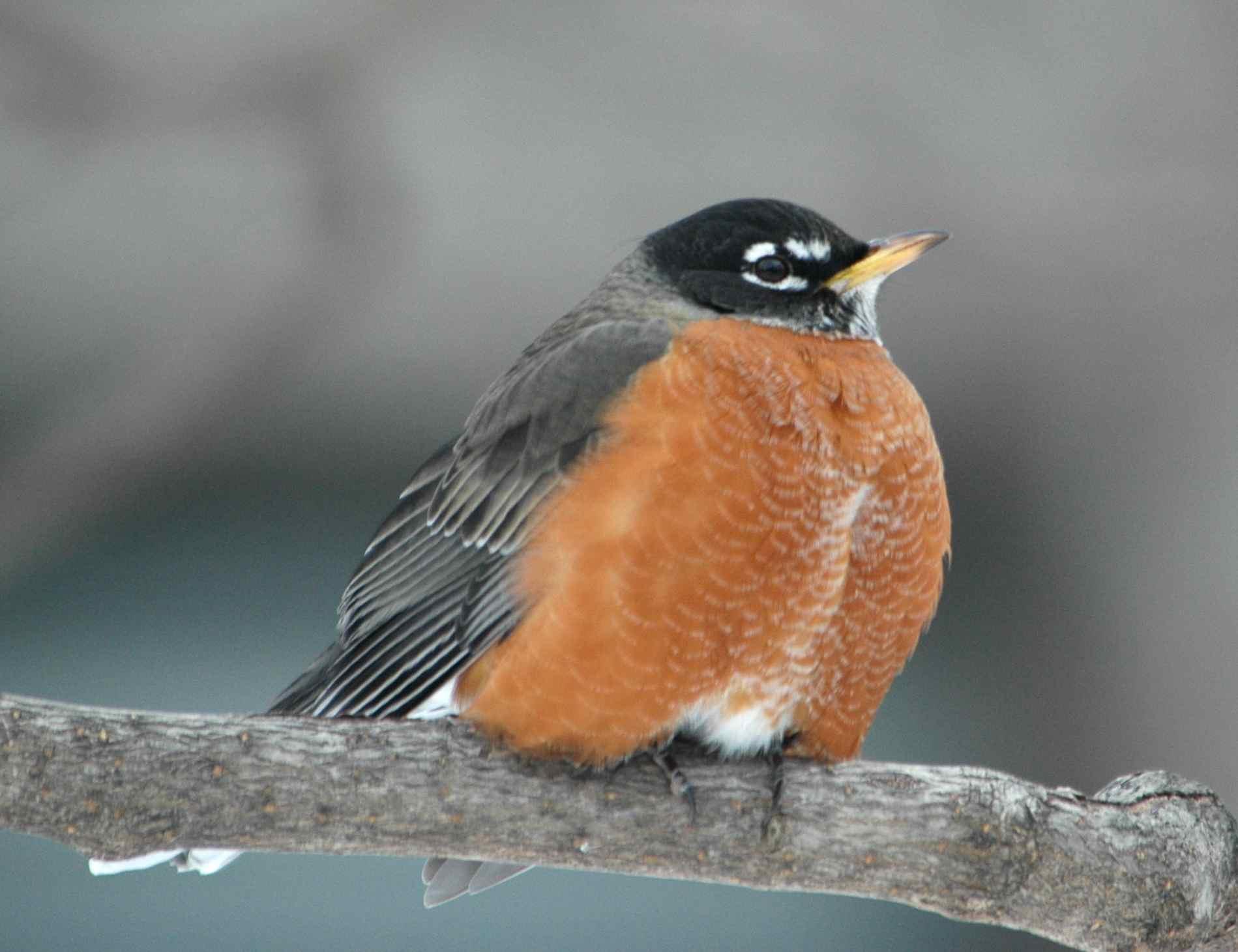 Robins volando hacia el norte antes, dicen los investigadores | Estado & amp; Regional | Missoulian.com