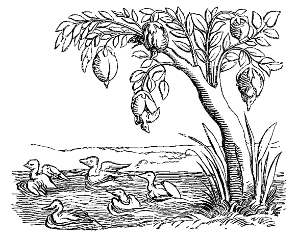 barnacle_geese_fac_simile_of_an_engraving_on_wood_from_the_cosmographie_universelle_of_munster_folio_basle_1552
