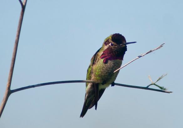 DSC_1513hummingbird