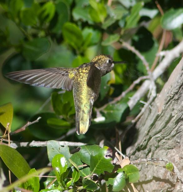 DSC_1588hummingbird