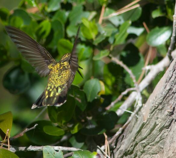 DSC_1590hummingbird