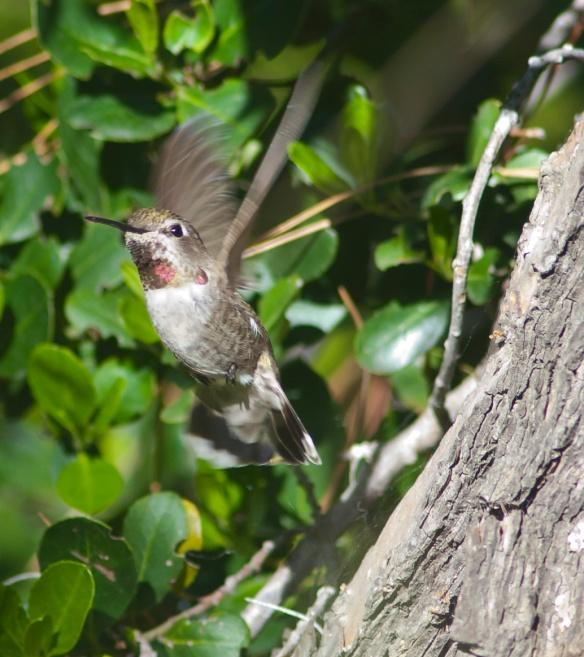 DSC_1591hummingbird