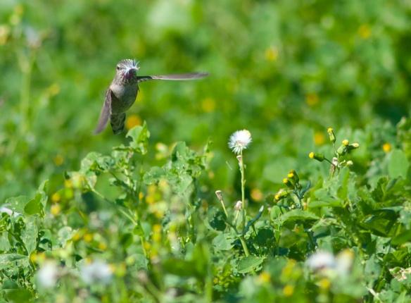 DSC_2059hummingbird