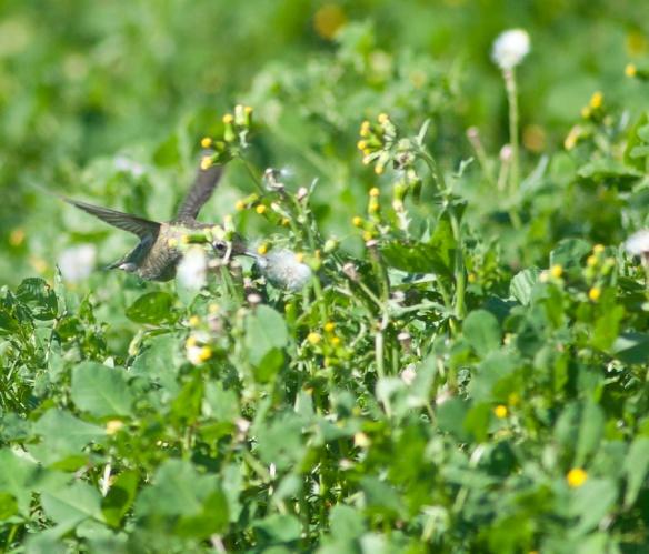 DSC_2061hummingbird
