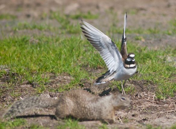 DSC_2092killdeer