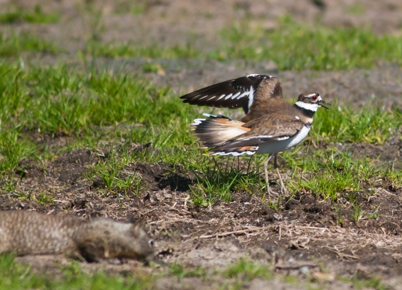 DSC_2095killdeer
